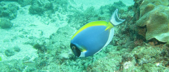 Powderblue tang on a reef