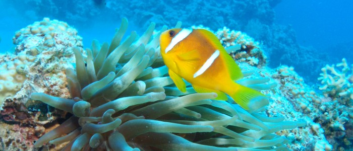 Two band anemonefish in its anemone