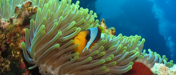 Twoband anemonefish in its anemone