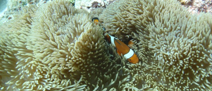 Clown anemonefish hiding in anemone