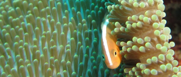 Yellow clownfish in an anemone