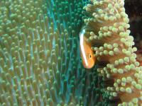 Yellow clownfish