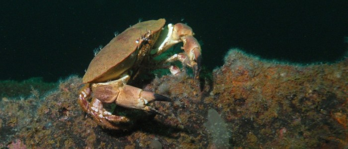 Edible crab on the Ferndale wreck