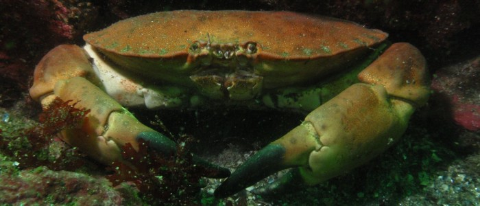 Brown crab on a rocky bottom