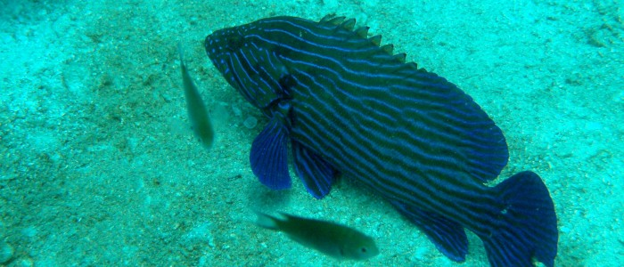 Bluelined grouper