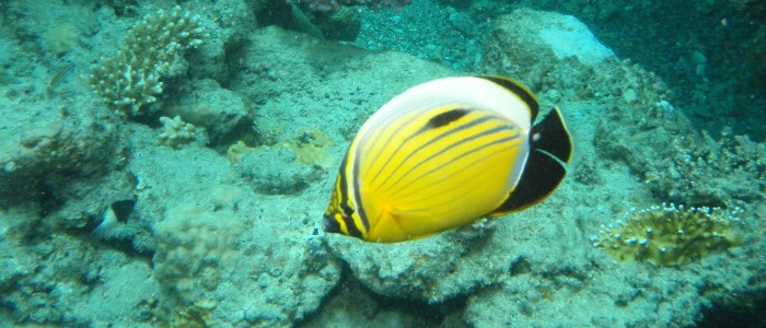 A pair of blacktail butterflyfish swimming together