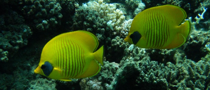 A pair of bluecheek butterflyfish