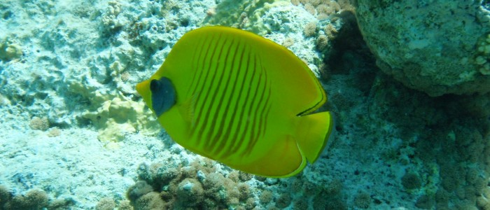 Bluecheek butterflyfish in shallow water