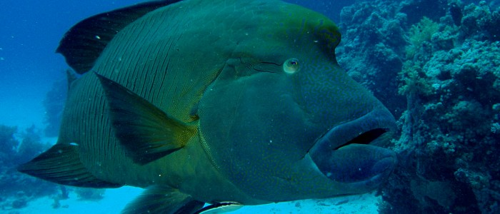 Humphead wrasse posing for a picture