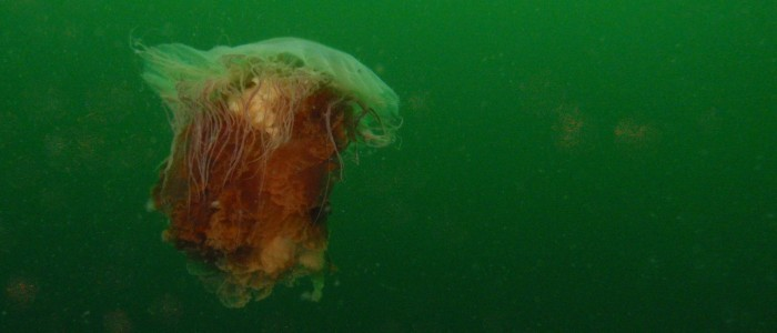 Lion's mane jellyfish in open water