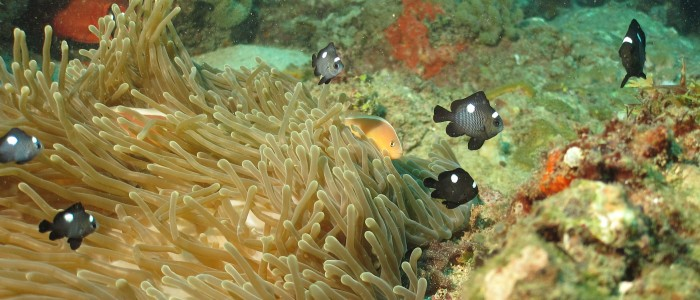 A group of juvenile domino damsels over an anemone