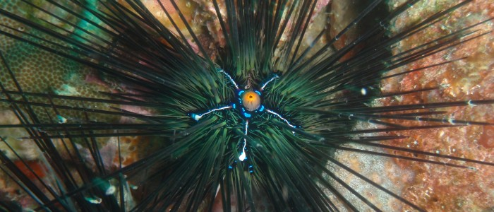 Long spine sea urchin