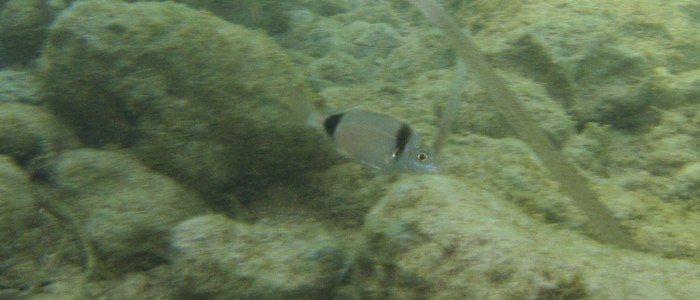 Juvenile two-banded sea bream swimming over rock in very shallow water