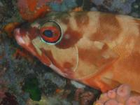 Red barred rockcod