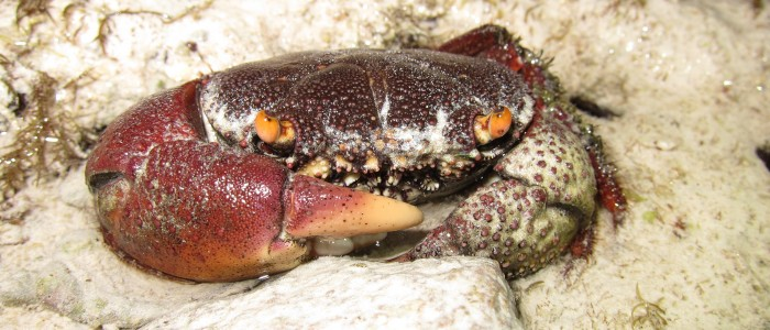 Rough redeye crab found on a bottom exposed during spring tide