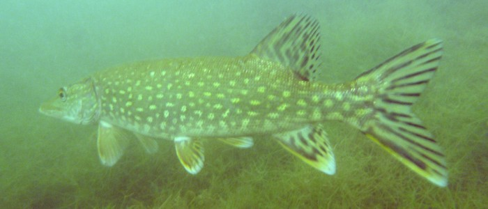 Mature northern pike