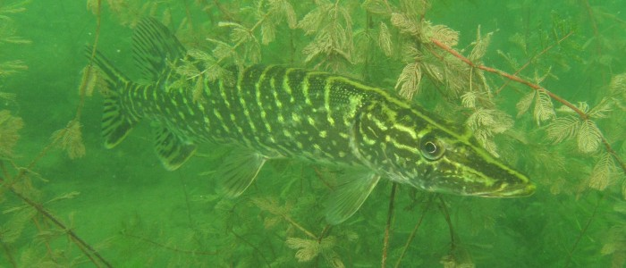 Northern pike waiting motionless among underwater plants for its prey