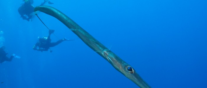 Bluespotted cornetfish looking into the lens