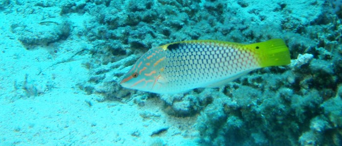 Swimming checkboard wrasse