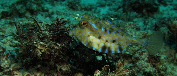 Thornback cowfish on reef flat