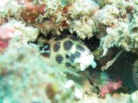 Saddled snake eel