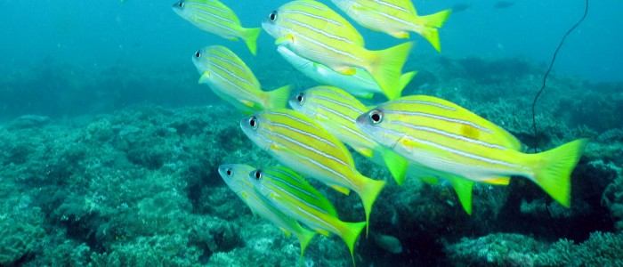 Bluestriped snapper (Lutjanus kasmira)
