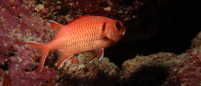 Pinecone soldierfish swimming away
