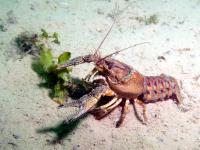 Spinycheek crayfish