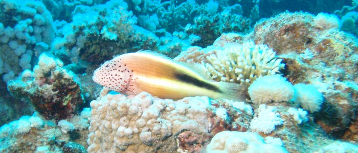 Forster's hawkfish
