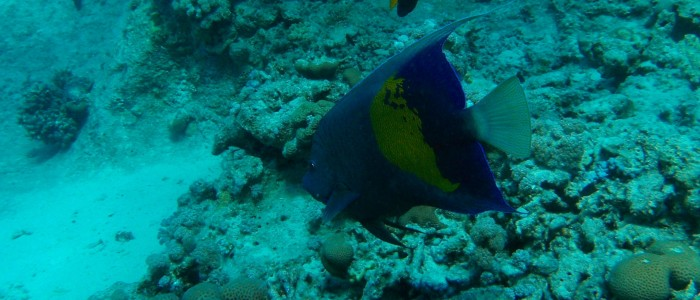 Arabian angelfish seen over a rocky bottom