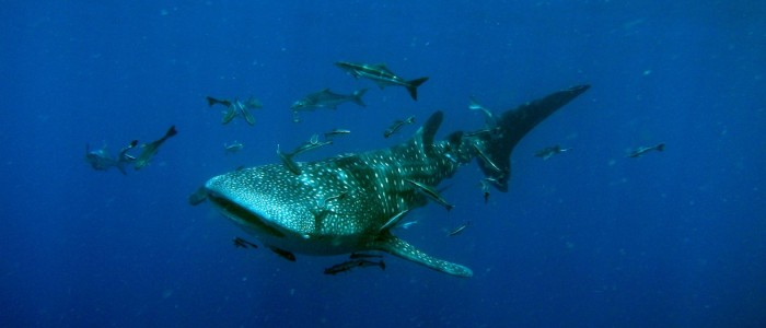 Characteristic wide mouth of whale shark visible