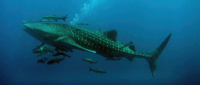 Side view of a whaleshark