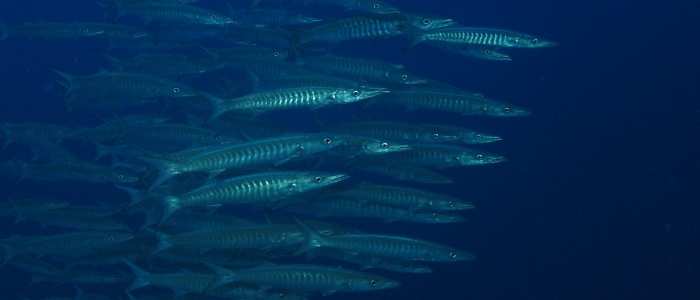 School of blackfin barracuda