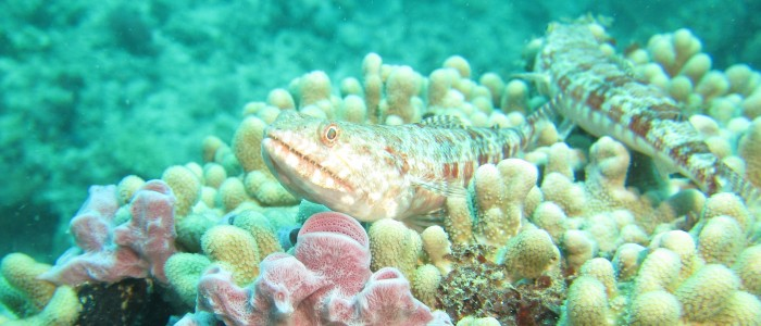 Pair of sand lizardfish