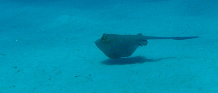 Bluespotted stingray swimming over sandy bottom