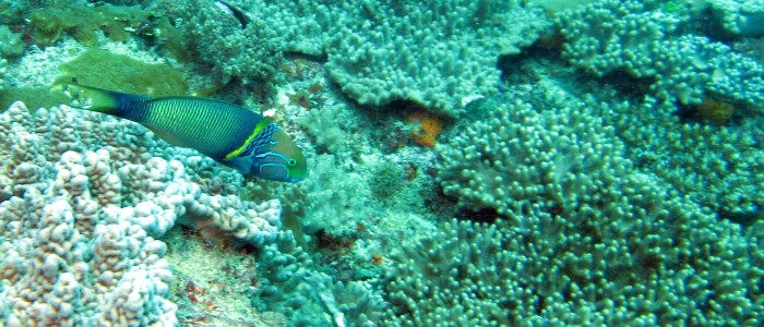 Goldbar wrasse in Kenia