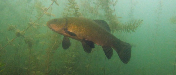 Tench in shallow water plants